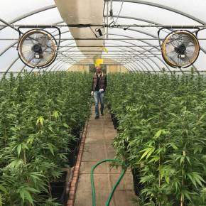 'New Cannabis Economy', un business miliardario, ma è tutto oro quello cheluccica?